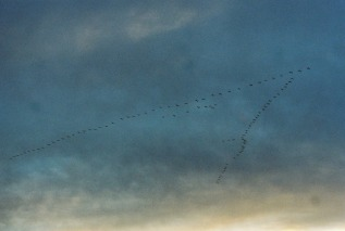 Sandhill cranes fly in formation over Bosque Farms, New Mexico. (Photo: Natalie Rae Good)